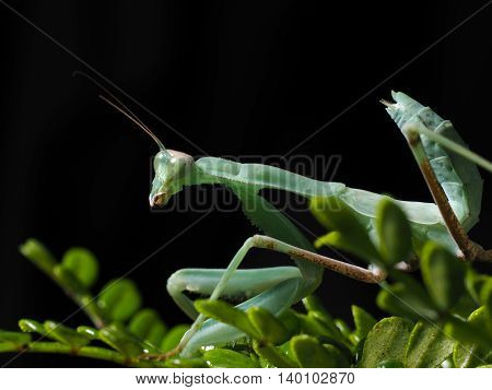 Praying Mantis on a branch with green leaves. Dark background. macro