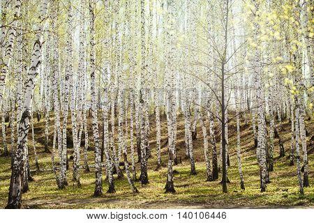Birch Trees Woods In Bright Sunlight