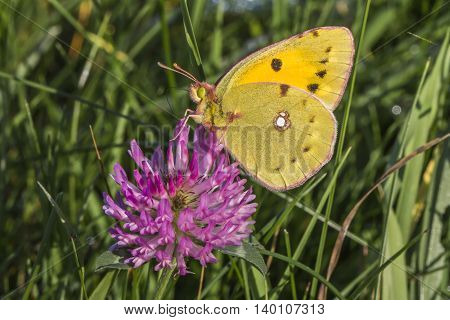 A pale clouded yellow on red clover
