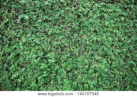 bush of leafs, natural green wall and background