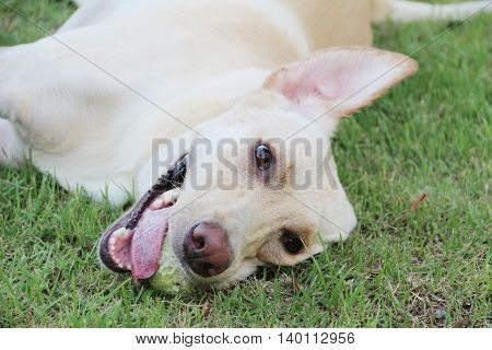 White labrador dog laying on the ground with tennis ball in her mouth