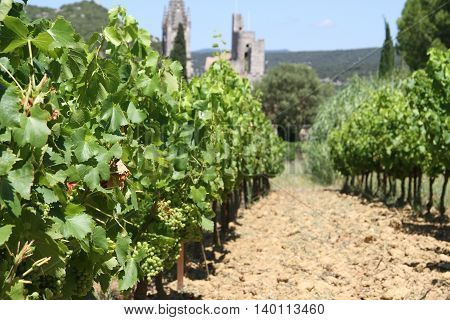 Vineyard with white grapes in France, Europe