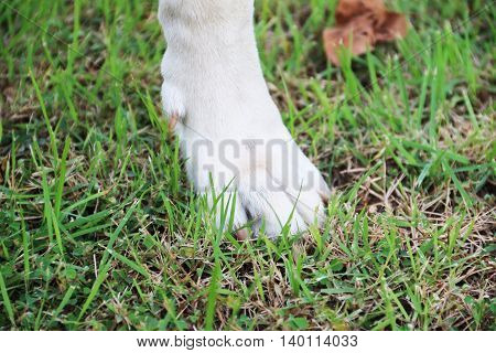 Strong foot of white dog on the green ground