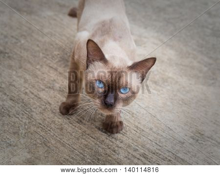 Thai famous cat (Siamese Cat Moon Diamond Seal Point) in dark and light brown hair standing and looking above on floor