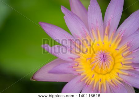Blooming water lily in bird eye view