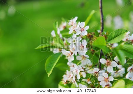 white branches of blossoming tree in garden
