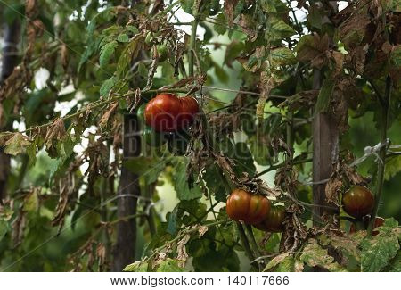Ripe and unripe tomatoes on branches in vegetable garden, selective focus, horizontal composition