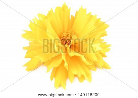 closeup of the yellow flower coreopsis isolated on white