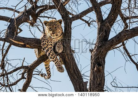 safari in Namibia. Huge and full leopard sitting on a tree branch in  safari park