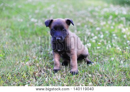 young puppies belgian shepherd malinois in field