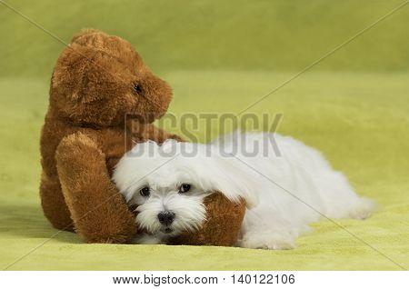 Adorable maltese dog lying in the arms of a cute teddy-bear
