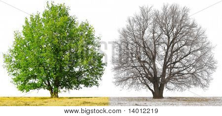 Winter and summer trees isolated on white