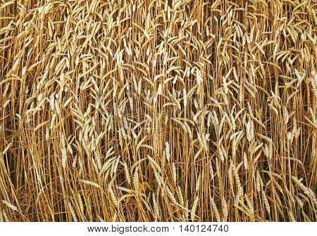 golden ripe ears of wheat ripened for harvest photo