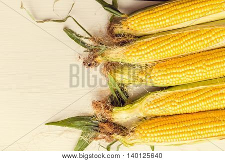 Ripe ears of corn on a white wooden table as background. Freshly harvested corn on wooden background with space for text. Copy space.