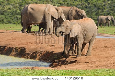 African animals, elephants drinking water, ADDO nature reserve, South Africa