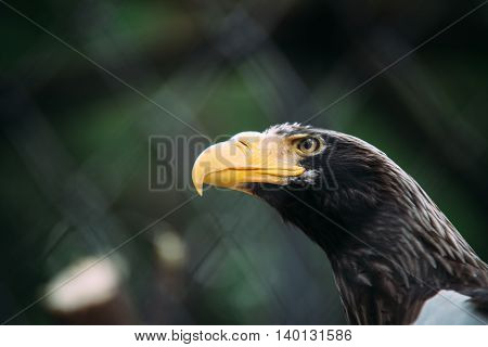 Portrait of a eagle with a large yellow beak
