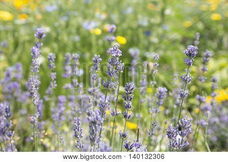 Lavender flowers in a field. Herbs. Summer.
