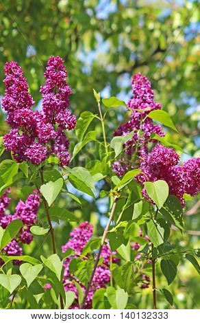 Green branch with spring bright lilac flowers