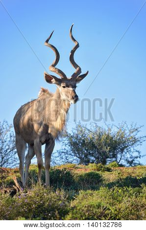 Kudu antelope in Addo National Park, animals of South Africa, vertical image