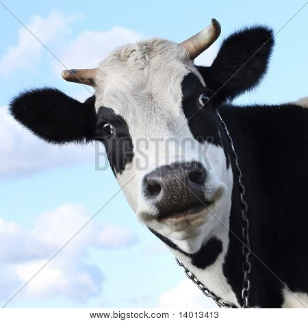 Silly smiling cow on sky background