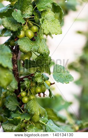 Close up photo of green black currant with drops of water in the rain growing on plant.
