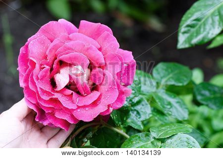 Close up photo of female hand holding a beautiful pink rose with drops of water in the rain.