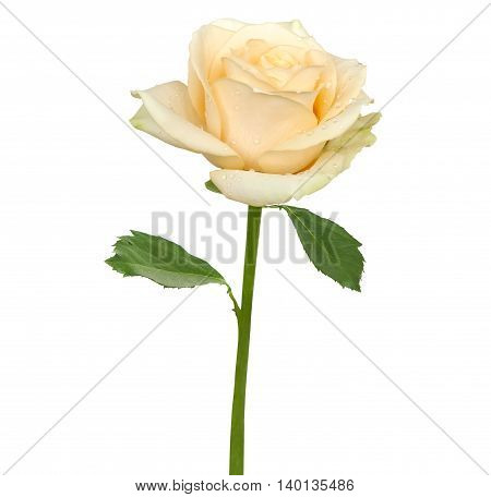 Tender beige rose isolated on a white background