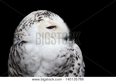 Closeup bird of prey portrait of a snowy owl isolated against a black background