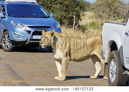 Safari and animal watching, lioness and cars on road in Kruger national park, South Africa