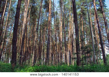 pine forest with green grass in the foreground