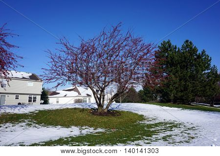 A crab apple tree after a November snow fall in Joliet, Illinois.