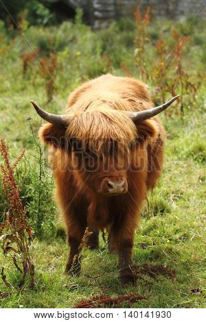 portrait orientation of a highland cow in a grass field on a sunny day