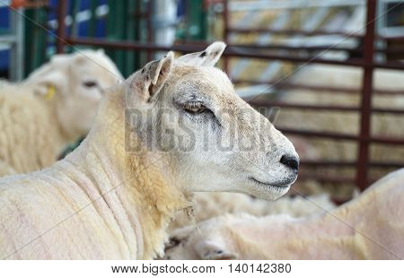 Close up of the face and head of a recently sheared white sheep in a pen.