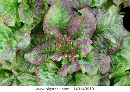 Bush lettuce with iodine - green and purple colours with dew drops. Gardening