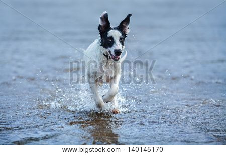 Puppy of watchdog running on water. Horizontal composition. Front view.