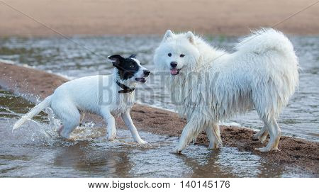 Group of dogs of different breeds playing on the seashore. Multicolored summertime horizontal outdoors image.