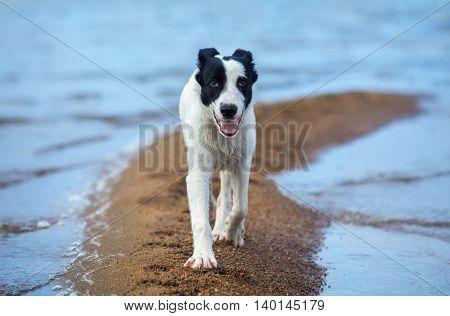 Spotty mongrel walks along sand spit on the seashore. Summertime horizontal outdoors image.