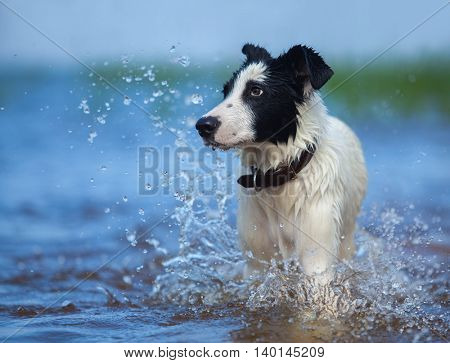 Close up portrait of mixed breed dog  with splashes. Front view.