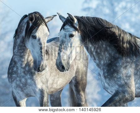 Two thoroughbred gray horses in winter forest on a blue sky background. Multicolored wintertime horizontal outdoors image.