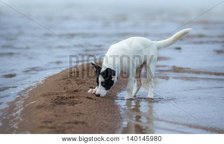 Spotty mongrel smells sand on the seashore. Summertime horizontal outdoors image.