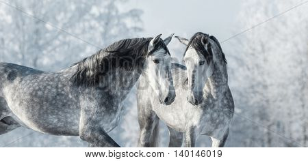 Two thoroughbred gray horses in winter forest. Monochromatic wintertime horizontal outdoors image.