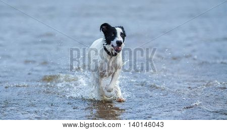 Puppy of mongrel running on water. Horizontal composition. Front view.
