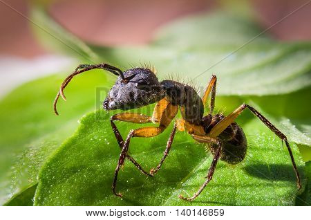 Closeup of an ant on leaves - Macrophotography