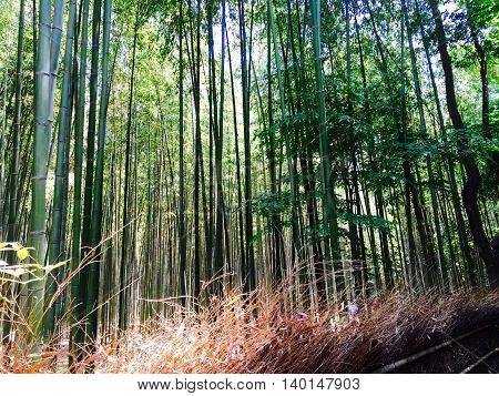 The path within the Bamboo Grove in Arashimaya, Kyoto, Japan.