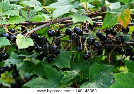 Black currant on a branch in the garden.