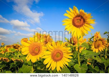 Nice sunflowers on field in sunny day