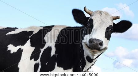 Smiling cow over sky background