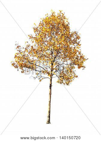 A big yellow tree isolated on white background