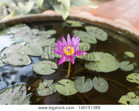Pink lotus blossoms or water lily flowers blooming on pond, Pink lotus, Pink flower