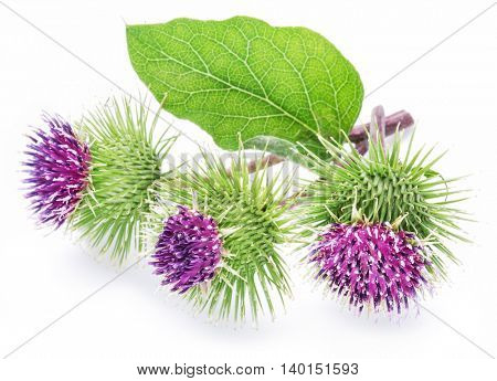 Prickly heads of burdock flowers on a white background.